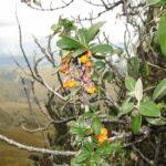 Berberis pichinchensis