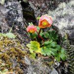 Ranunculus Gusmannii
