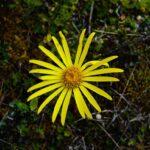 Dorobaea pimpinellifolia