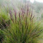 Calamagrostis intermedia