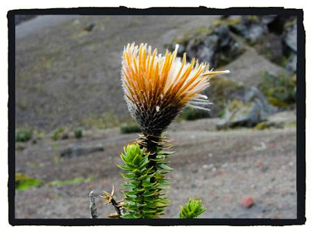 Flora of the Andes 4200 - 4800m