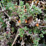 Galium hypocarpium
